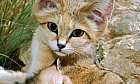 What to do if you see a sand cat?