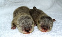 Dubai Aquarium wants you to name its two new baby otters