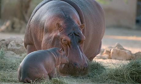 2012_1_hippo
