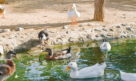 duck12711_1
