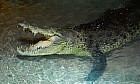 King Croc at Dubai Aquarium