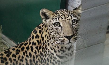 2012_leopard_1