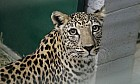 Arabian Leopards at Al Ain Zoo