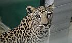 Arabian Leopards at Al Ain Zoo