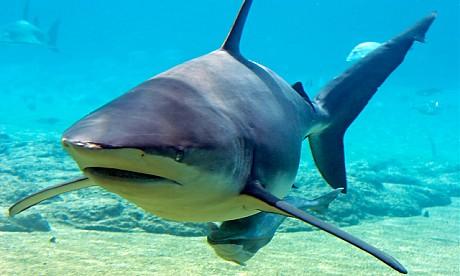 2013_shark
